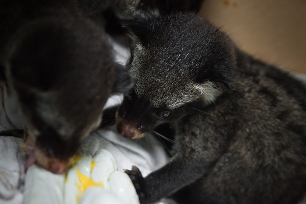 "After a few days the civets build up a healthy appetite and squabble over some fresh papaya.<br /> <br /> All print proceeds go to ACRES for the wildlife rescue centre and their many animal welfare campaigns.<br />  <a href=""http://www.acres.org.sg"">http://www.acres.org.sg</a>"