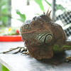 "Another exotic pet turned over to ACRES, this iguana soon tired of the camera and ate the fresh organic salad the ACRES team had prepared.<br /> <br /> All print proceeds go to ACRES for the wildlife rescue centre and their many animal welfare campaigns.<br />  <a href=""http://www.acres.org.sg"">http://www.acres.org.sg</a>"