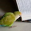 "This domesticated bird had escaped and was found by a member of the public. He was trying to look up what species he was in the reference book.<br /> <br /> All print proceeds go to ACRES for the wildlife rescue centre and their many animal welfare campaigns.<br />  <a href=""http://www.acres.org.sg"">http://www.acres.org.sg</a>"