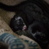 """The civet gang are kept nice and comfy in their temporary new home.<br /> <br /> All print proceeds go to ACRES for the wildlife rescue centre and their many animal welfare campaigns.<br />  <a href=""""http://www.acres.org.sg"""">http://www.acres.org.sg</a>"""