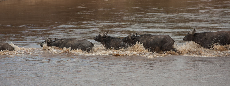 Buffalos crossing the Mara river as well as the wildebeast