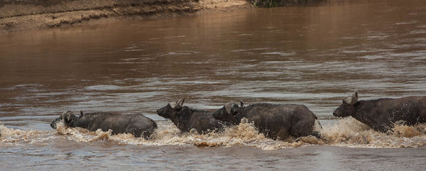 Buffalos crossing the Mara river, Kenya