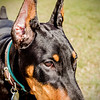 Viktor, the doberman puppy  5 months old