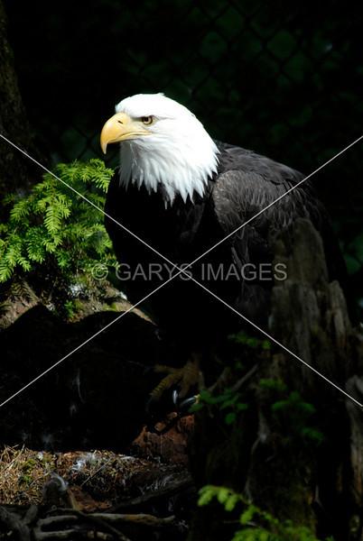 MASTER EAGLE
