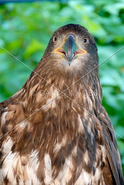 YOUNG BALD EAGLE