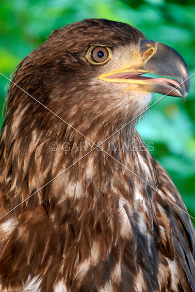 YOUNG BALD EAGLE2