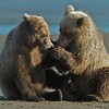 Cubs plalying on the beach