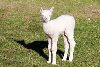 One week old Alpaca