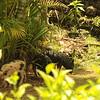 Wild Pigs, Talofofo Falls, Guam