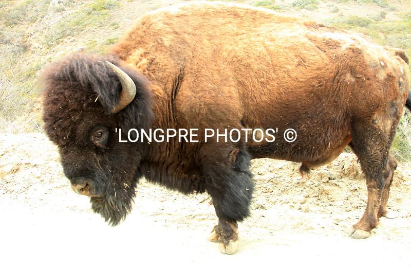 BIG BULA... an old Catalina Bison.  photo shot:  4-25-15