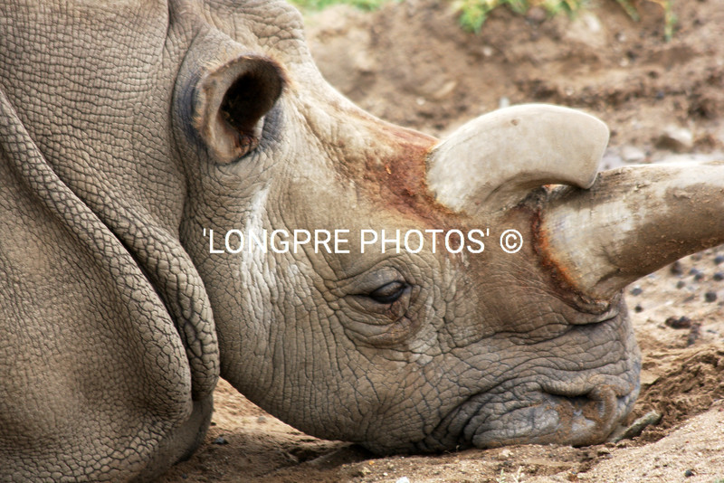 'NOLA' a to horned  White Rhino.<br /> Wild animal Park.