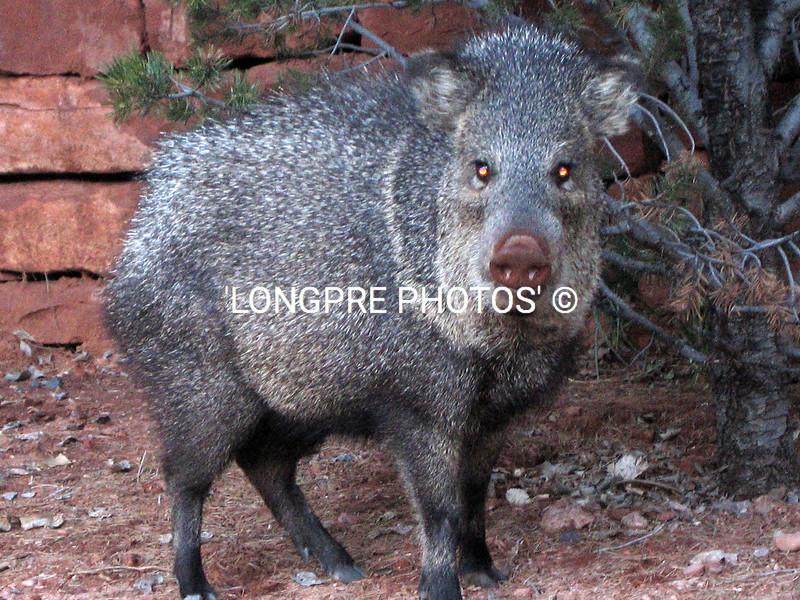 JAVALINA large female.  Sedona, AZ