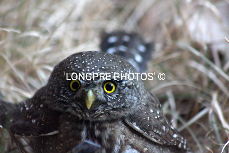 ELF OWL looking in window.  Sedona, AZ
