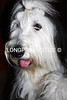 'HAIRY BEAR' Old English Sheepdog