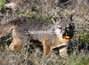 Catalina Island FOX with radio collar.