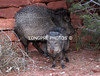 JAVALINA mom and baby.. Sedona, AZ