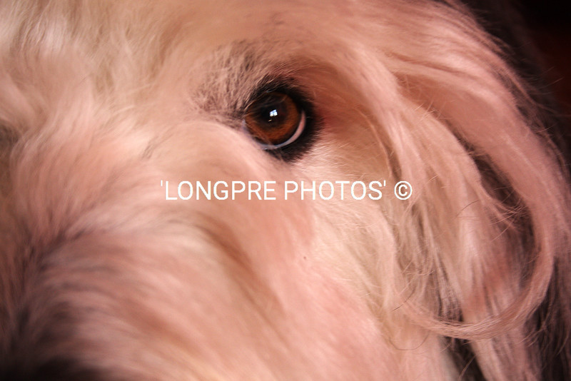 Eye of Old English Sheepdog.