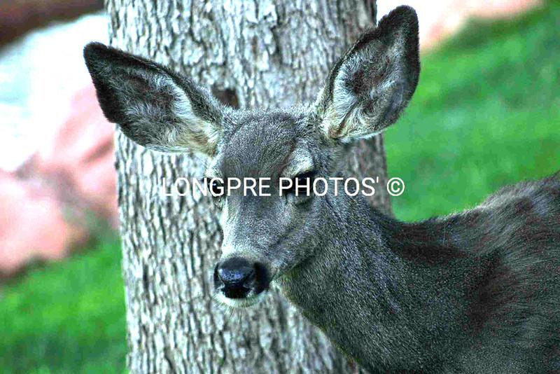 Arizona deer at Rancho Los Lagos ranch.