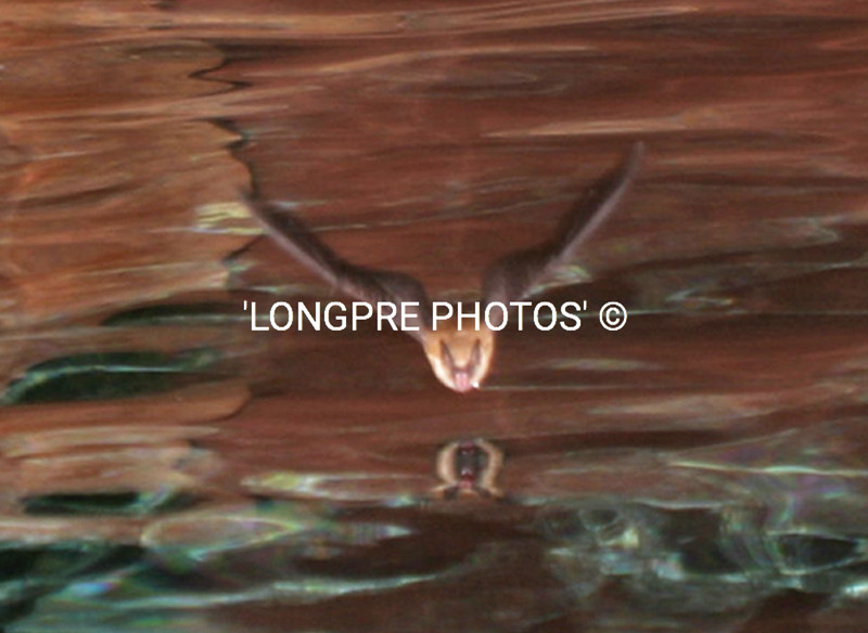 BAT coming down to pool for water.  Sedona, AZ