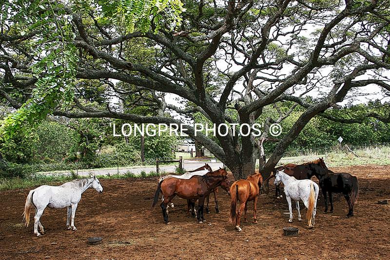 MAUI horses.