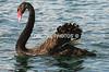 'RUPERT' the famous Newport Harbor swan.