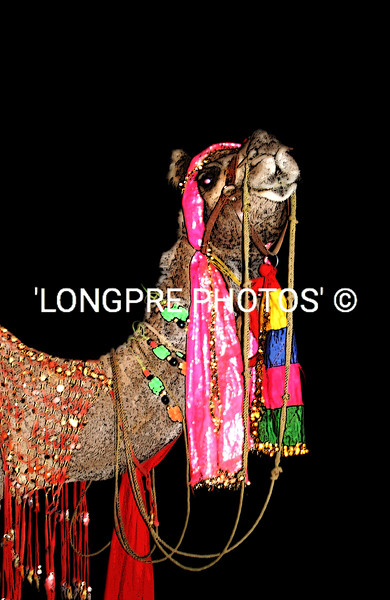 JAPUR camel dressed for Maharaja's birthday party.