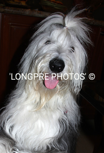 'HAIRY BEAR'- Old English Sheepdog