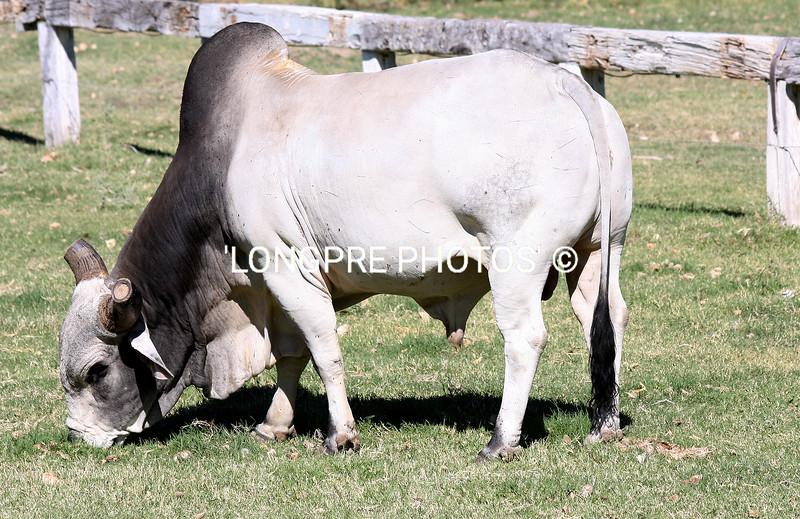 Brama Bull- Kirkland, AZ