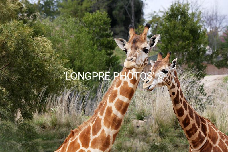 GIRAFFE  Mom and baby.