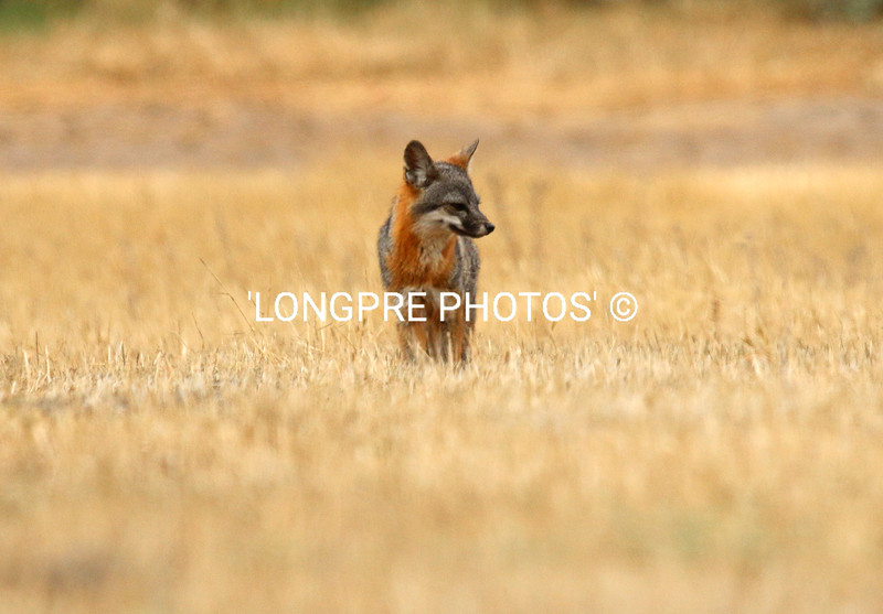 ATLINA ISLAND FOX.   healthy happy guy.  4-25-15
