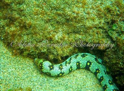 EEL AT KE'E BEACH
