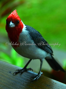 RED CRESTED CARDINAL AT HANALEI BUBBA'S