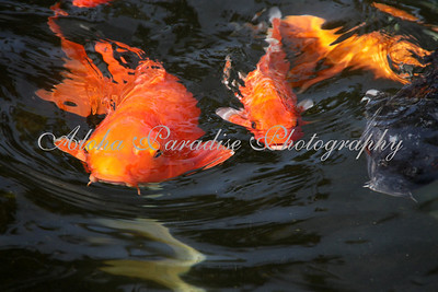 KOI AT GRAND HYATT RESORT