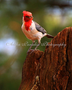 RED CRESTED CARDINAL AT SPOUTING HORN