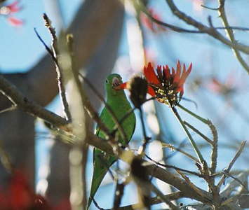 1/2/04 Yellow-Chevroned Parakeet (Brotogeris chiriri). Huntington Library & Gardens, San Marino, CA