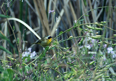 5/18/02 Common Yellowthroat (Geothlypis trichas). Upper Newport Bay Ecological Reserve, Newport Beach, Orange County, CA