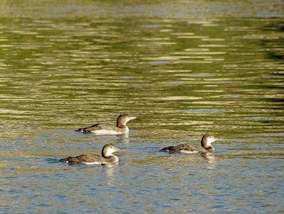 BIRDS: Loons (Gaviidae)