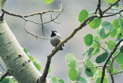 8/16/04 Mountain Chickadee (Poecile gambeli). Lundy Canyon, Eastern Sierra, Mono County, CA