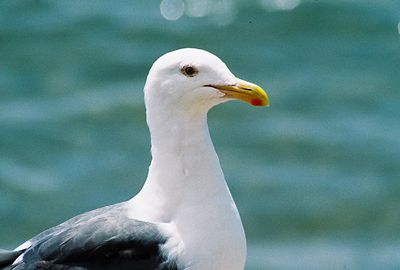 8/19/04 Western Gull (Larus occidentalis). Morro Rock, Morro Bay, San Luis Obispo County, CA