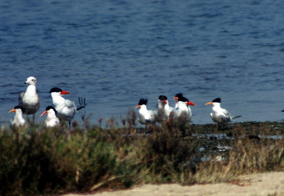 4/13/02 Caspian Tern (Sterna caspia) and Elegant Tern (Sterna elegans). Upper Newport Bay Ecological Reserve, Newport Beach, Orange County, CA