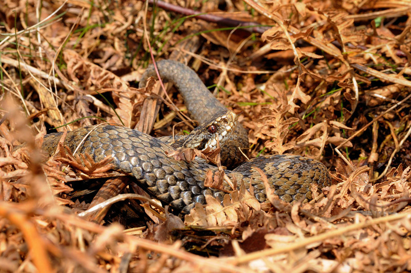 Adult female Adder<br /> First female of 2009 season <br /> Photographed at entrance to hibernacula 11am 6 March 2009<br /> air temperature 4c  snakes body temp 18c (Taken by laser thermometer)