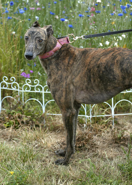 Jake	/ Arjo Might	/ Male	/ 2 years	/ Brindle	/ 45D	/ 32215	/ 69 lbs / GONE TO GPA-NW!