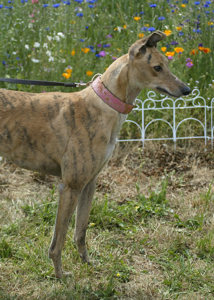 Star	/ MCP's Mardigraw	/ Female	/ 4 years	/ Brindle	/ 53C	/ 20351	/ 62 lbs / No cats / Star is a gentle girl who is a little reserved around new people but warms up quickly.