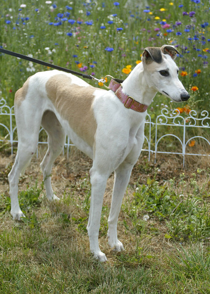 NO LONGER AVAILABLE / Xena	/ Cajun Lois	/ Female	/ 3 years	/ White and Fawn	/ 44A	/ 26015	/ 63 lbs	/ No cats / XENA HAS GONE TO GPA-COASTAL!