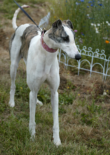 Manny	/ Still Jackson	/ Male	/ 2.5 years	/ White and Brindle	/ 15A	/ 30938	/ 77 lbs / Can live with small animals / GONE TO GPA-NW!