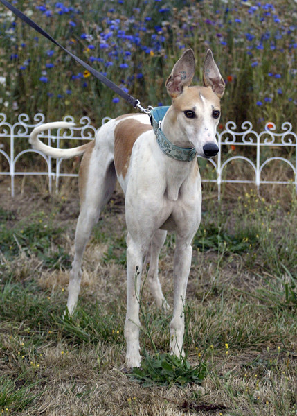 Wiggles	/ Kiowa Cobourn	/ Female	/ 4 years	/ White and Fawn	/ 53C	/ 19579	/ 58 lbs