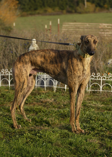 Golden / Ed's Golden Jet / Male / 1.5 years / Red Brindle / 26G / 36592 / Calm for such a young dog, sweet and outgoing, very well-behaved