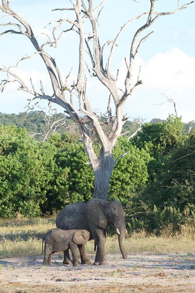 Nursing Elephant - Chobe