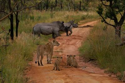 Lions vs  Rhinos