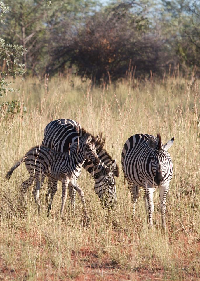 Zebra - Bwabwata
